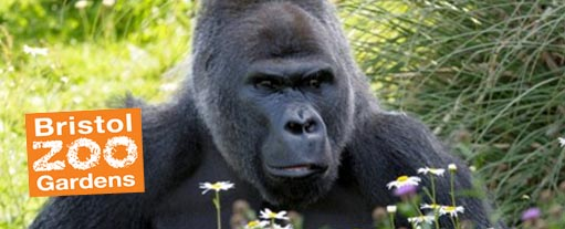 An image of the head and sholders of a large black gorilla, set in some under growth, the Bristol Zoo Gardens logo is situated in the bottom right of th eimage.